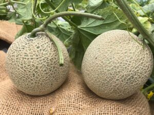 自然栽培メロンの収穫を開始しました。